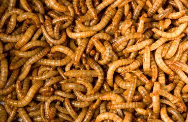 Gusanos-harina-escarabajo
